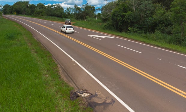 An anteater on the side of the BR-262 as traffic speeds by. Photograph: Gustavo Figueirôa/SOS Pantanal