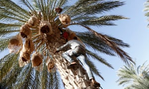 Youths collect dates in Jemna, southern Tunisia