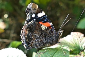 A red admiral butterfly closes its wings on a sunny day in Hengistbury Head, Dorset