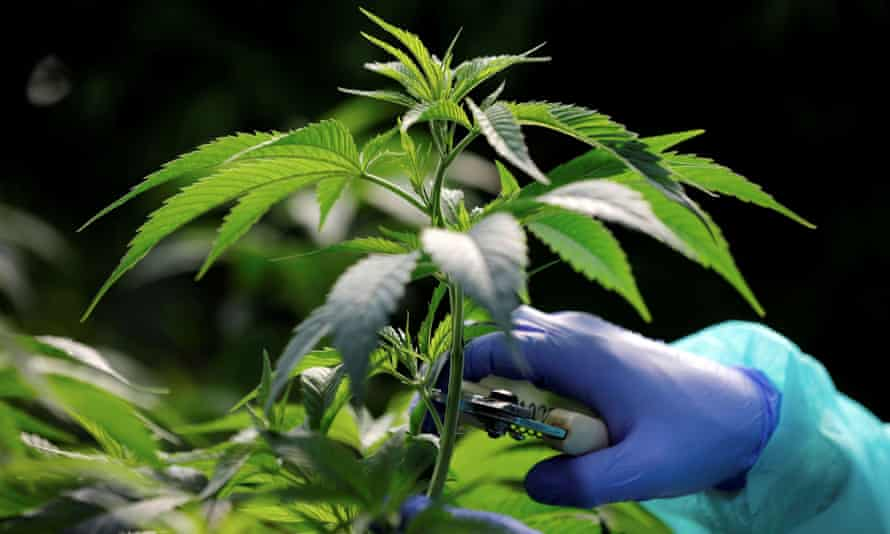 Employee tends to cannabis plants