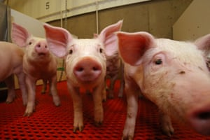 Manitoba, Canada Five-week-old piglets at the national centre for livestock and the environment