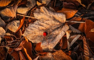 Frost-covered autumn leaves in the early morning sun in Swillington, West Yorkshire, UK
