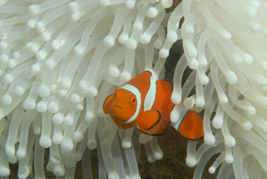 Clown fish in a bleached sea anemone at Lizard Island, Great Barrier reef.