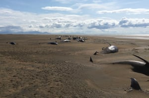 Stranded whales on the Longufjorur beach in the Snaefellsnes peninsula area in north-western Iceland on 18 July.