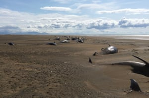 Stranded whales lie on the beach at Longufjorur in the Snaefellsnes peninsula