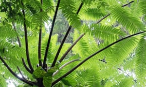 Close-up of a tree fern, with a mass of large luxuriant green leaves