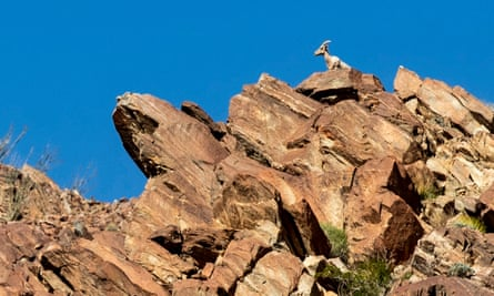 A peninsular desert bighorn sheep stands watching over a canyon ridge in the Anza-Borrego desert state park in California.
