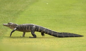 Gator (pictured the other day, but we're pretty sure it's the same one they've just shown on the telly).