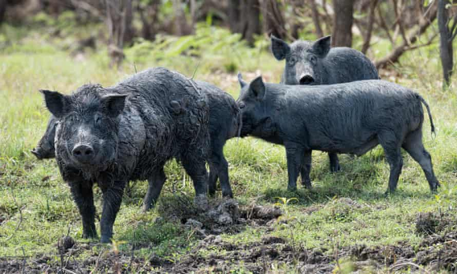 Wild boar – or feral pigs – have been culled and exported for many years, but are now a staple in some local restaurants, served braised or in lasagne.