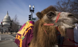 Camels, known for having humps, are popular for nativity recreations – although scholars are divided as to whether camels were present at the birth of Jesus.