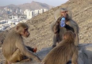 Hamadryas baboons are seen as Muslim pilgrims climb the Jabal al-Nour in Saudi Arabia