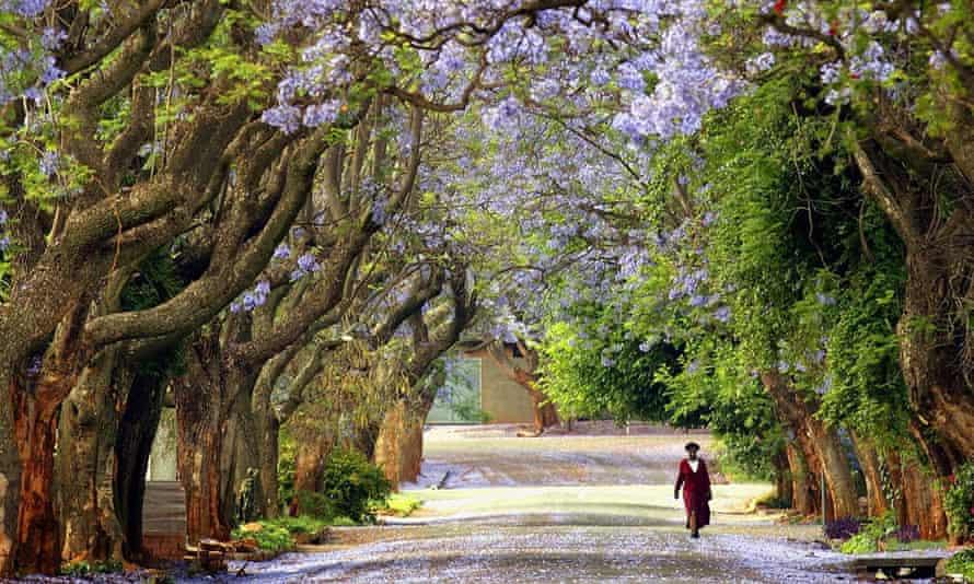 A woman walks down a Jacaranda-lined street