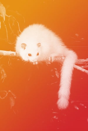 The rare white lemuroid ringtail possum is being dubbed the new polar bear of climate change.