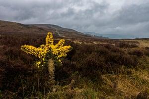 Flowering gorse on Ilkley Moor, West Yorkshire, UK