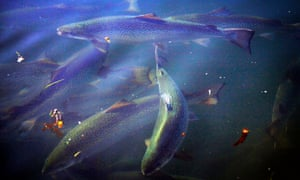 Tasmanian salmon swimming in a pond during a daily inspection of the nets at a farm owned by Huon Aquaculture Group