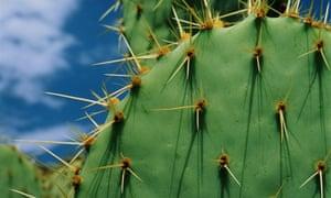 A prickly pear cactus.