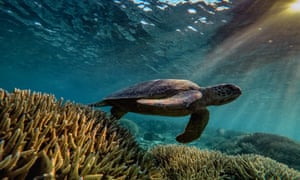 A green sea turtle swims at the Great Barrier Reef