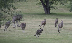 A 'mob' of kangaroos living on the grounds of Government House, Canberra