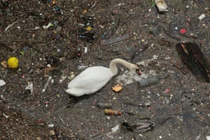 A swan and a mallard duck swim among rubbish in the river Thames in Limehouse, London.