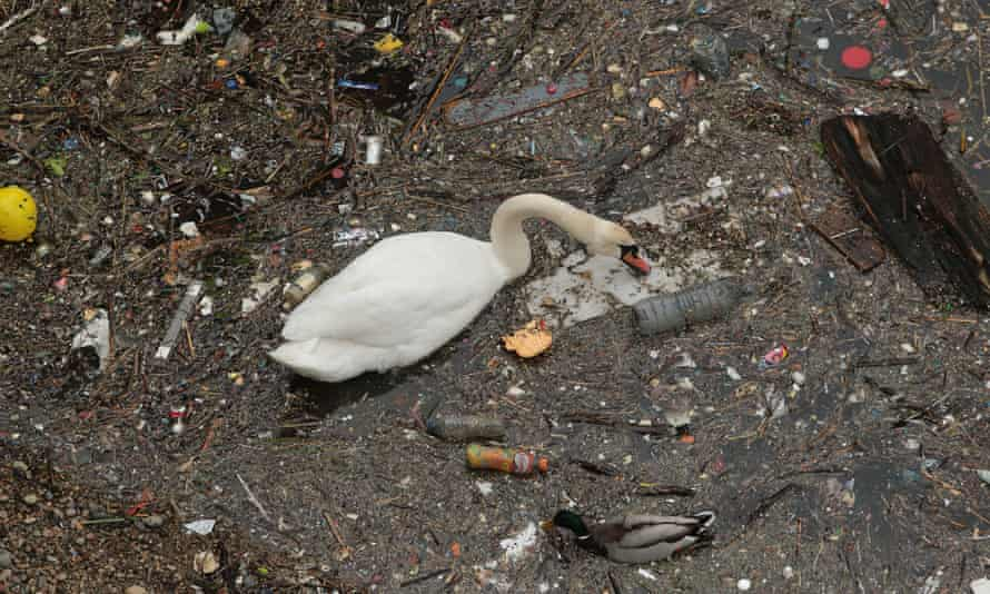 A swan swims and feeds in the rubbish and pollution thrown into the River Thames in Limehouse London