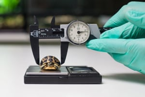 A baby spider tortoise is measured at Paignton Zoo, which has become the first in Britain to breed one of the world's smallest and rarest tortoises