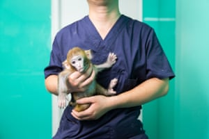 A veterinarian holds a rhesus macaque (Macaca mulatta) in a store in central Beijing