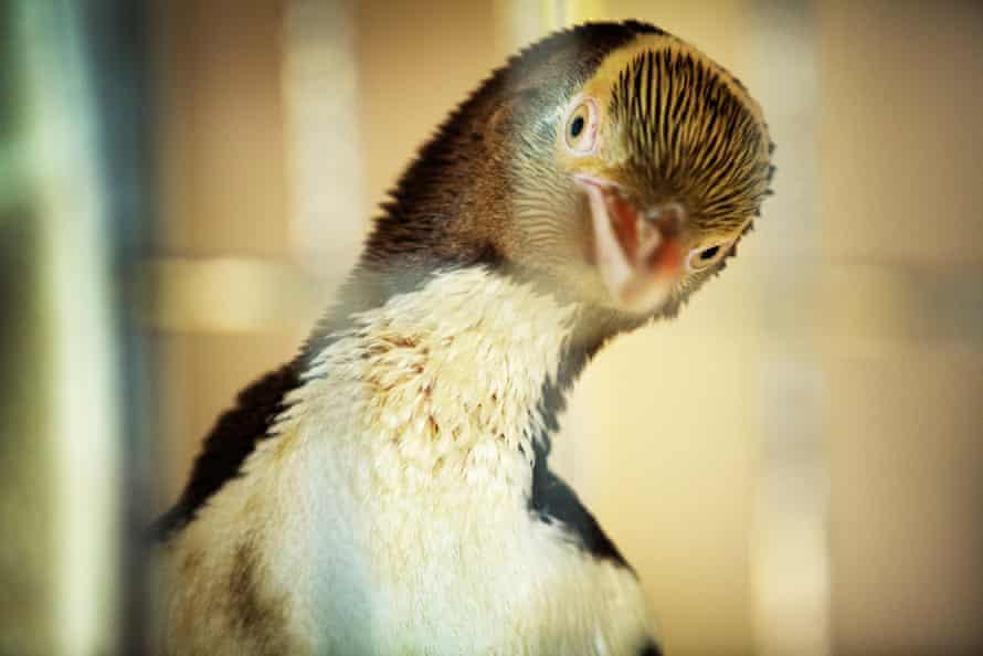 A penguin recovers at Dunedin Wildlife hospital