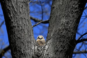 A baby horned owl is seen perched on a tree in Cockeysville, Maryland, US.