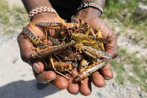 Isiolo, KenyaA tour guide holds a hand full of dead desert locusts after an invasion in Shaba National Reserve. Swarms of the insects have invaded northern Kenya and Somalia in recent weeks.