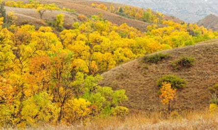 Green ash trees in Theodore Roosevelt national park