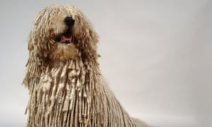Komondor Hungarian sheepdog  Robert Towne PH Vazak Oscars