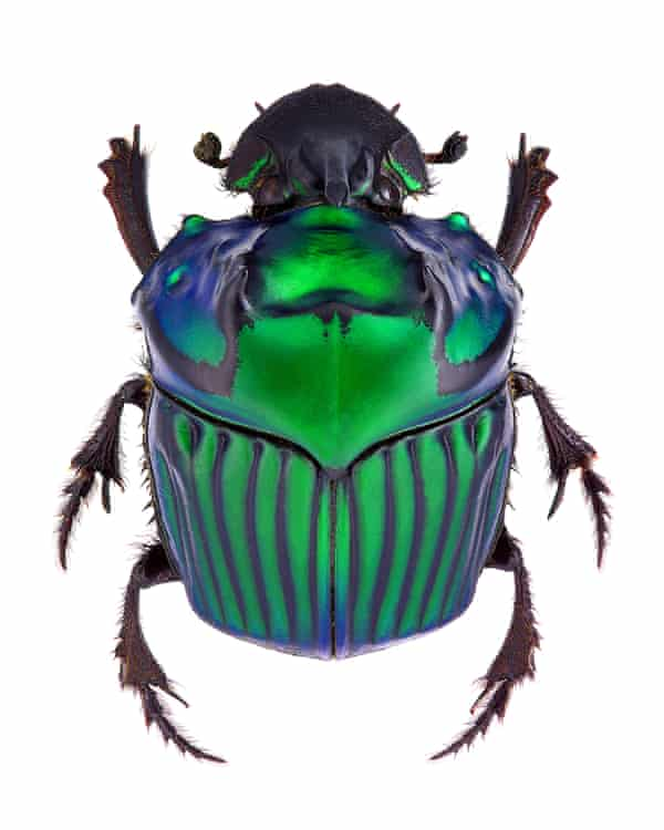 An Oxysternon conspicillatum dung beetle from South America