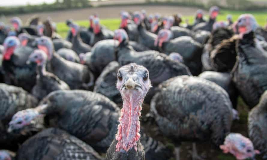 Turkeys at Chilcott Turkeys farm