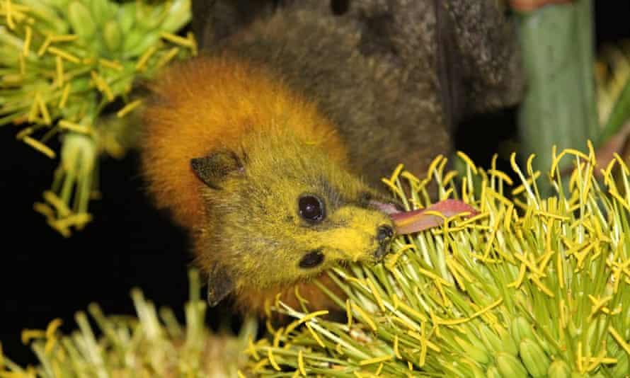 A grey-headed flying fox eating flower nectar