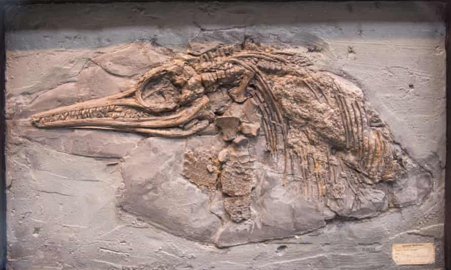 Ichthyosaur specimen on display at the Oxford University Museum of Natural History