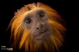 An endangered golden-headed lion tamarin