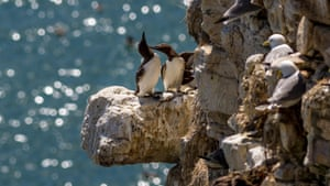 Guillemots preen each other on a coastal chalk cliff full of seabirds in Flamborough, East Yorkshire.