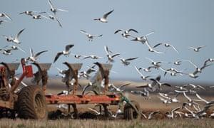 Black-headed Gull (Larus ridibundus) flock, in flight, following tractor ploughing field, Norfolk, England