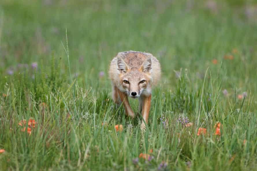 Swift fox near Pawnee National Grassland, Colorado.