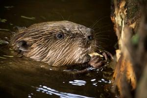 Beaver in water, eating