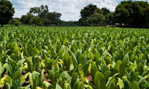 Tobacco fields in Mchinji, Malawi.