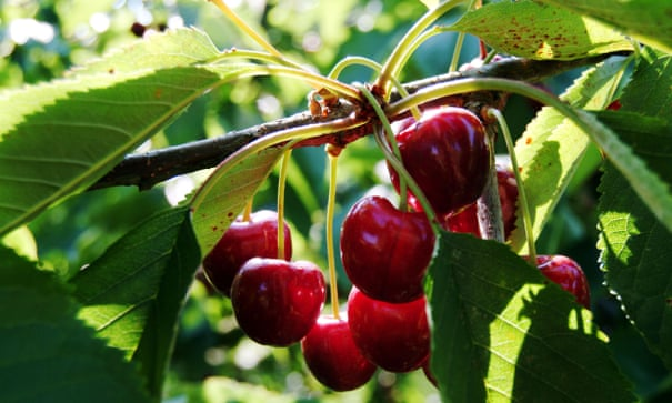 UK's cherry industry bounces back after almost withering | Fruit | The Guardian