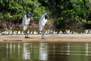 Jabiru: its name in Tupi-Guarani language means swollen neck, due to its distinctive red neck, an inflatable pouch which it uses when it feeds on fish.