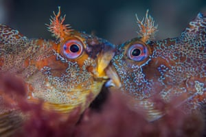 """British waters macro category - winner. Battle of the Tompots by Henley Spiers (UK). Location: Swanage Pier, Swanage, DorsetThese two Tompot Blennies are not kissing but engaged in a ferocious battle over mating rights. As one judge pointed out """"Who says British fish lack colour and character? This shot has got it right in all the right places. Sharp when needed and blurred when not""""."""