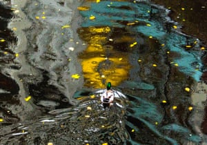 Hamburg, Germany A duck swims in a Osterbekkanal during a the rainy autumn afternoon