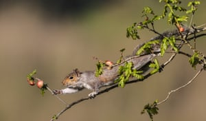 Grey squirrel on branch reaching for fruit