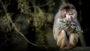 Amersfoort, the Netherlands. A baboon nibbles on the branch of an old Christmas tree at the Amersfoort zoo