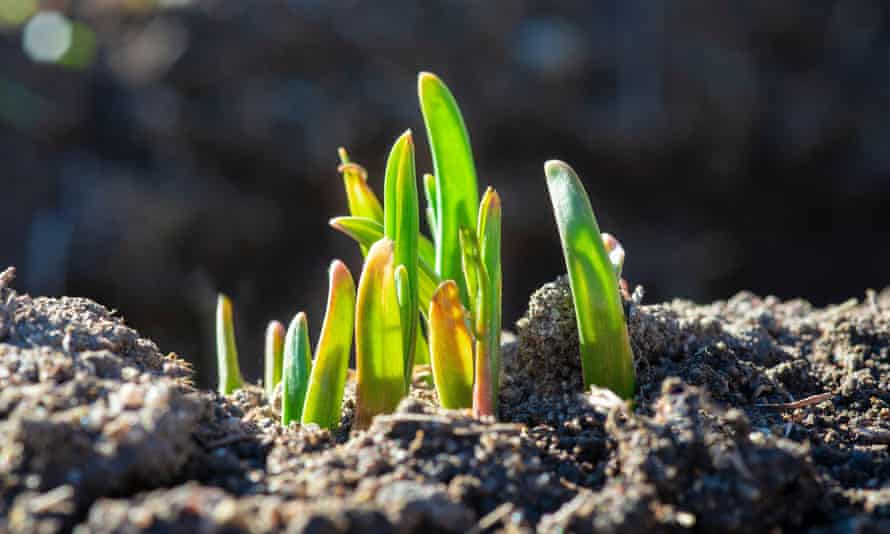 Young garlic sprouts.