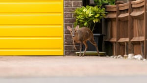Muntjac deer on driveway