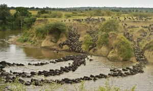 Herds of wildebeest cross the river in Masai Mara